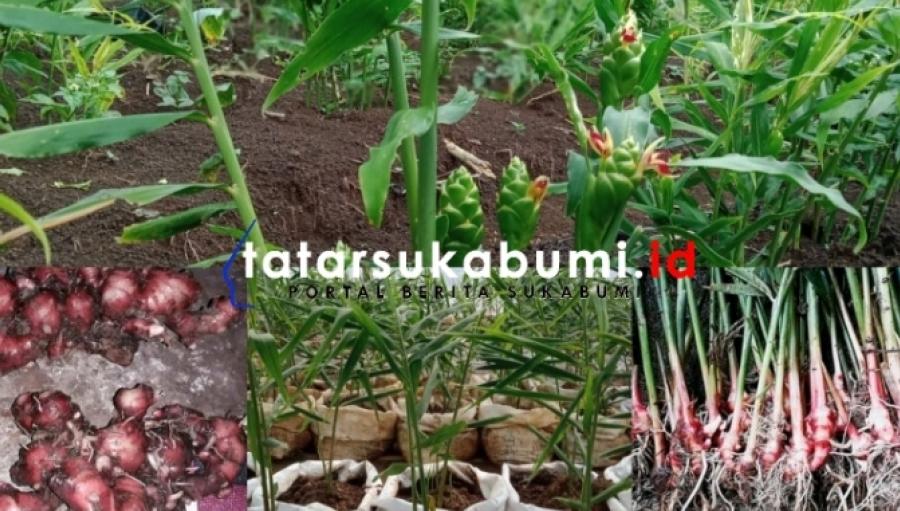 Petani Jahe Sukabumi Kebanjiran Berkah Harga Melonjak 3 Kali Lipat