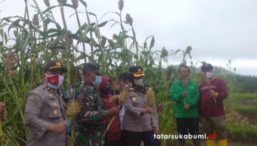 Panen Perdana Sorgum Polres Sukabumi Kota Gandeng Desa Kebonpedes Bangun Zona Ketahanan Pangan