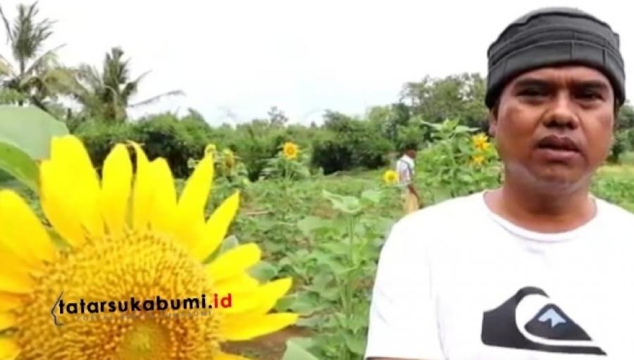 Taman Bunga Matahari Cigedur Lokasi Instagramable di Pajampangan Sukabumi