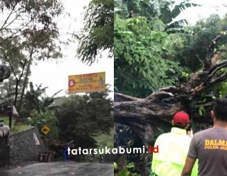 Pohon Ukuran Raksasa Tumbang Dipertigaan Loji Menuju Kuil Dewi Kwan Im dan Geopark Ciletuh
