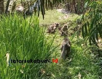 Kawanan Monyet Serang Pemukiman Warga Kabandungan, Diduga Sengaja Dilepas